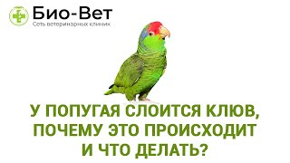 У попугая слоится клюв, почему это происходит и что делать?