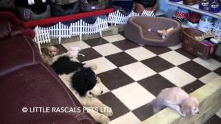 Little Rascals Uk Breeders New Litter Of Golden Cockapoos - Puppies For Sale 2016