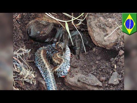 Foto tarantula memakan ular di alam liar -...