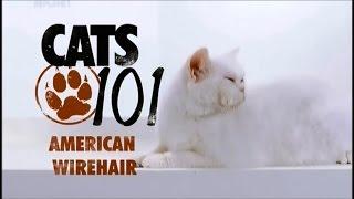 Порода кошек Американская жесткошерстная кошка