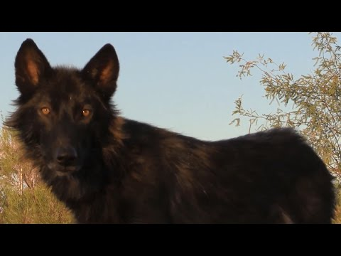 Thinking of getting a Wolf or Wolfdog? Watch this...