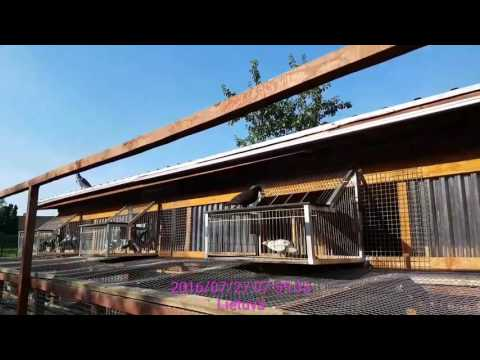 Racing pigeons junior training nr.6. Return 2016-07-27