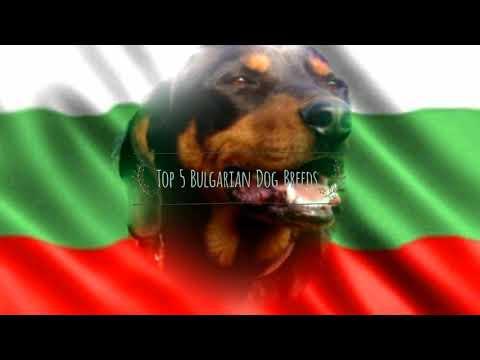 Top 5 Bulgarian Dog Breeds