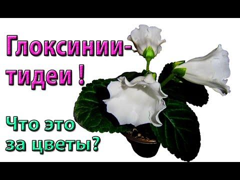 ��Глоксинии-тидеи! Что это за цветы? Вот они, расцвели!�� ��
