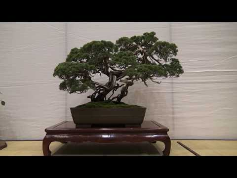 Bonsai show 2017 in hashima, Japan.  Part 5 第35回 岐阜羽島盆栽展