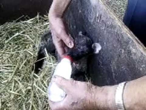 Bottle Feeding Young Lamb