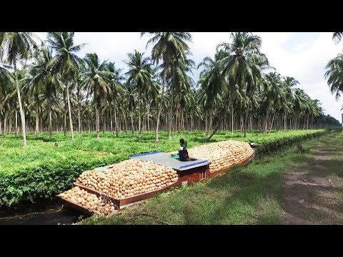 Asia Coconut Farming And Harvest - How Coconut Cultivation Asian Technology