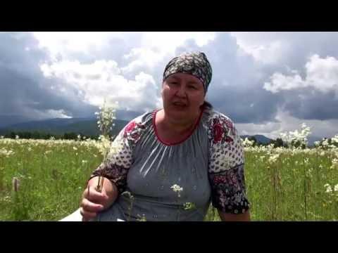 Лабазник вязолистный (таволга) - Все травы - Алтайский травник