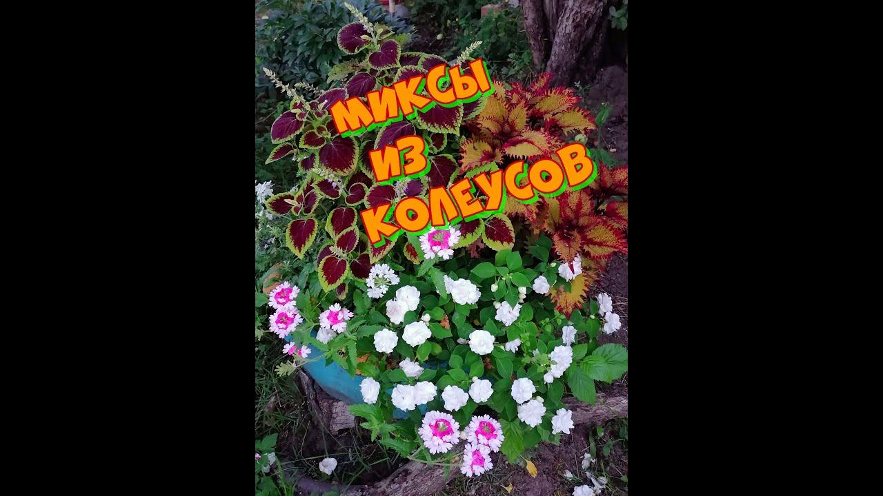 Красивые композиции из колеусов снова украсят мой сад))