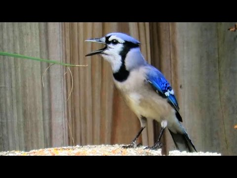 Blue Jay Imitating Red Shouldered Hawk Call Youtube