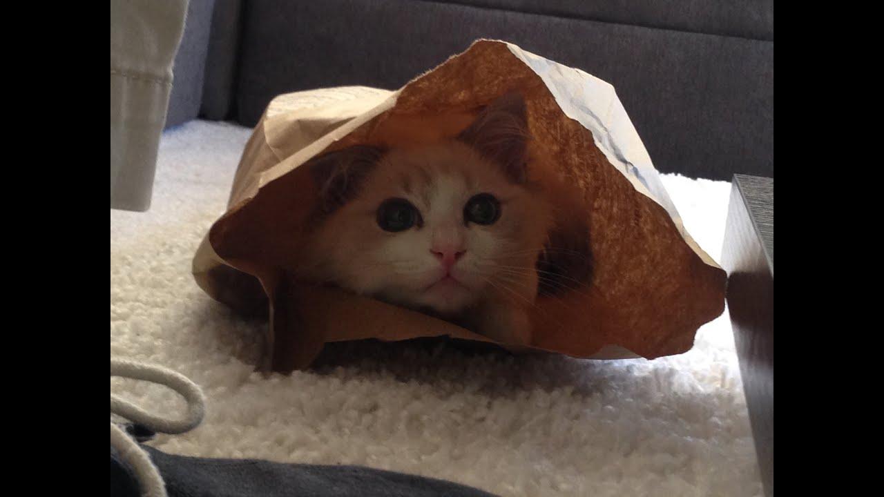 Meet Our New Ragdoll Kitten Nug 12 weeks Cutest Kitty Ever