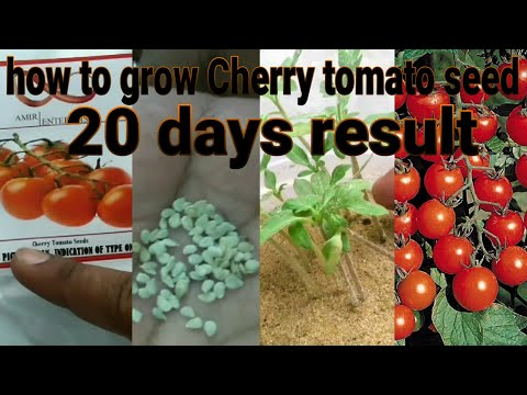 Growing Cherry tomato seed and transplanting result