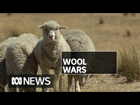 The mulesing debate: Is cutting skin off sheep bottoms to protect against larvae ethical?   ABC News