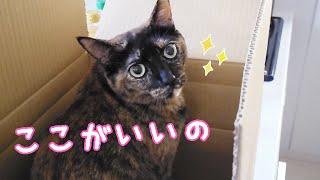 忙しい朝でも箱から出ようとしないサビ猫