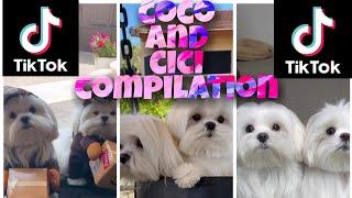 COco and Cici Tiktok CompilationCute Dog couples#08