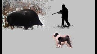 Об охоте на кабанов. Hunting boar