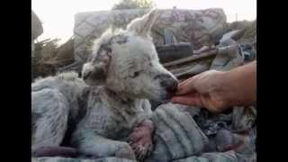 Siberian Husky Dog Rescue  Good Help