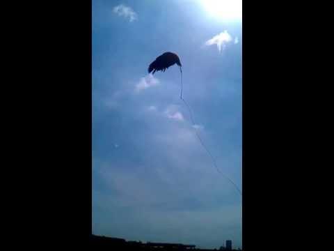 SaiGon Falconry Club,Viet Nam-Eastern Imperial Eagle training by TwinLX!