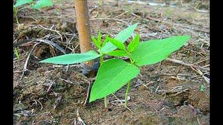 cách trồng đậu đũa trong thùng xốp | đậu đũa trồng tháng mấy | có nên ngắt ngọn đậu đũa??