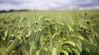 CROPS WATCH UPDATE: Winter barley on track to produce exceptional yields