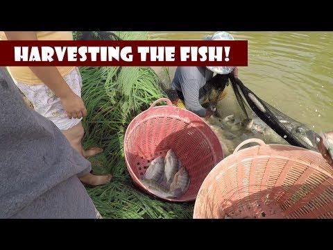 Harvesting The Fish