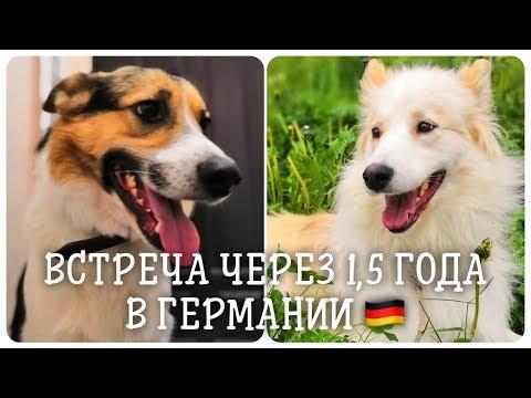 Из Сибири в Альпы. Встреча двух дворняжек спустя 1,5 года.