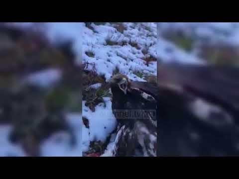 Shqiponja e robëruar lirohet nga policia - Top Channel Albania - News - Lajme