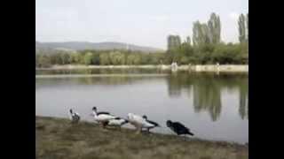 Ducks on lake Zagorka in Stara Zagora (2)
