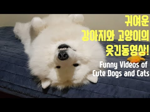 Funny Videos of Cute Dogs and Cats. (feat. Samoyed, persian chinchilla)