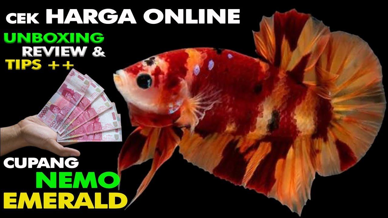 Beli Ikan Cupang Termahal Jenis Ikan Nemo Harganya Ga Nyangka Youtube
