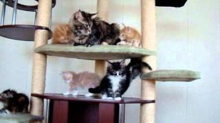 Фильм про котят мейн кунов.wmv