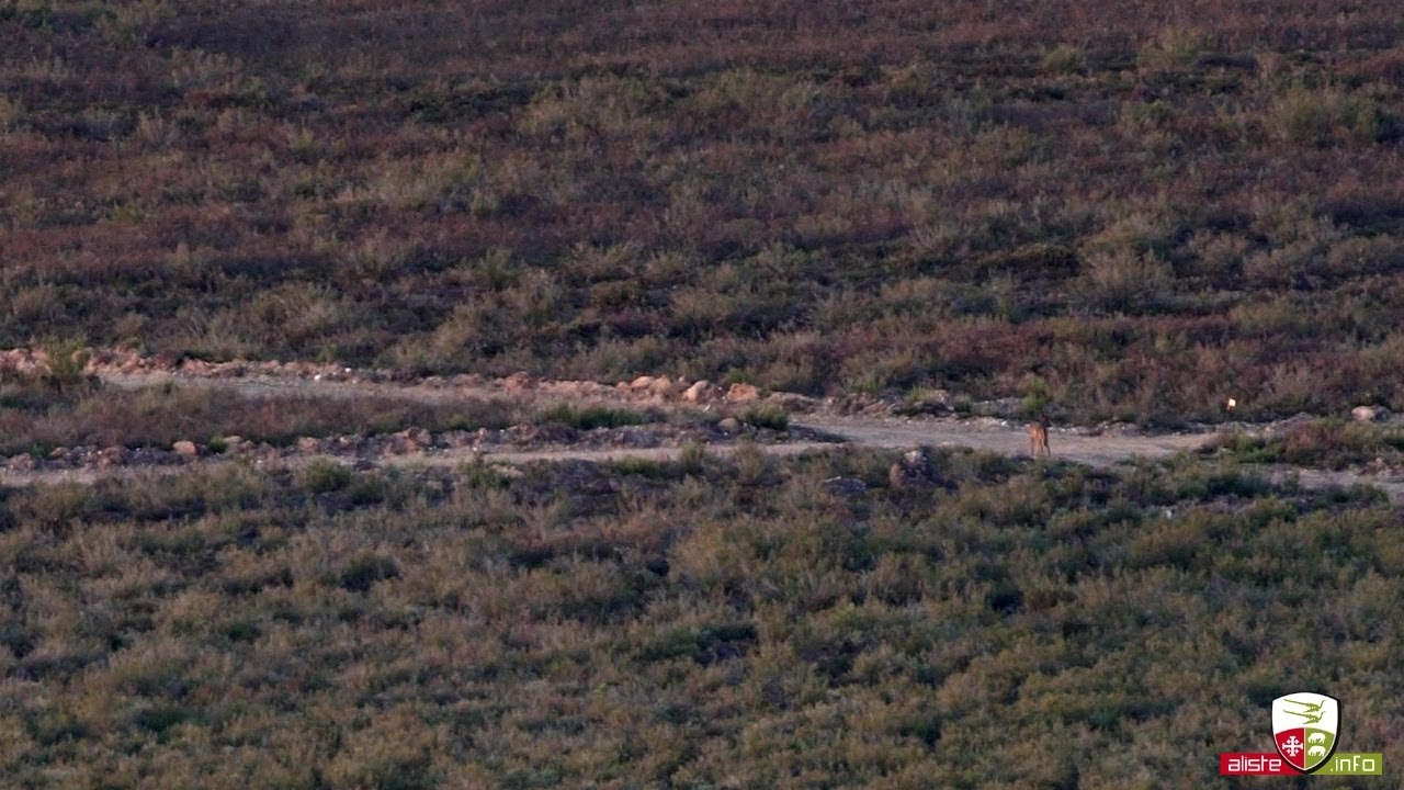 Lobo Caminando Por Pista En La Sierra De La Culebra