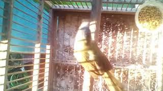 Burung meongan gancor cor