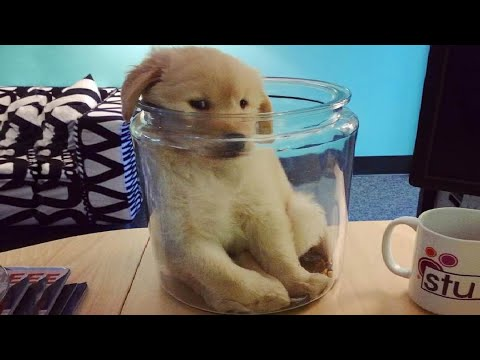 Funniest & Cutest Golden Retriever Puppies #25- Funny Puppy Videos 2020