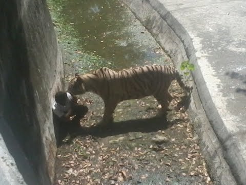 Tiger and Lions Mating Breeding from YouTube · Duration:  1 minutes 16 seconds