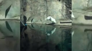 Nora The Polar Bear Perfects Her Diving Skills
