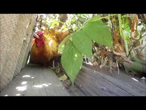 петух усаживает курицу на новое гнездо