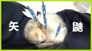 He is japanese archery ferret. -- いたちラボ関連URL http://ferret-l...