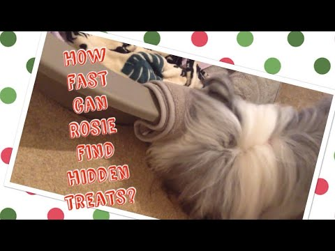 How fast can my Bearded collie find hidden treats? (Rosie's first Christmas)