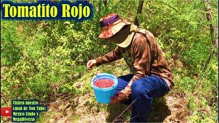 Juntando tomatitos ROJOS o de CUNE 🍒 en los cerros de la Mixteca 🍒