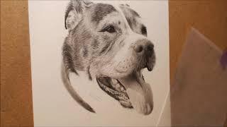 Staffordshire Bull Terrier Graphite Pencil Portrait