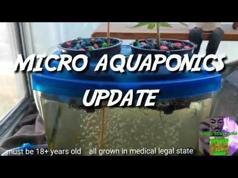 Micro Aquaponics - Medical Marijuana Experiment