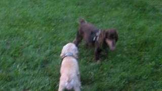 American Cocker Spaniel Fay And Rocco Mating