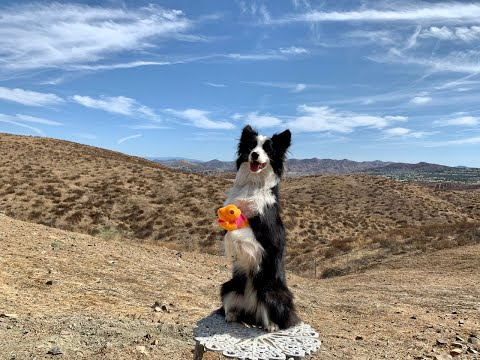 🐶❤️Dog Tricks with Bravo the Border Collie-Fun with Pup and Jane