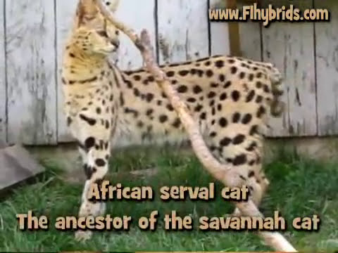 Savannah Cats 101 - www.F1SavannahCats.com