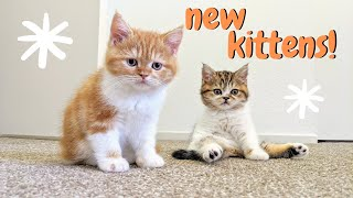 Picking Up Scottish Straight Kittens! | Beaker + Bunsen