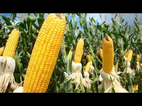 Clique e veja o vídeo Curso a Distância Produção de Milho em Pequenas Propriedades