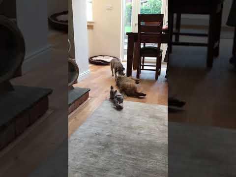 Crazy Border Terriers