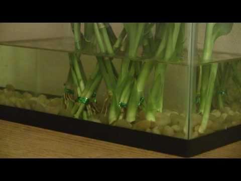Lucky Bamboo: Aquarium