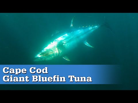 Cape Cod Giant Bluefin Tuna | S17 E08